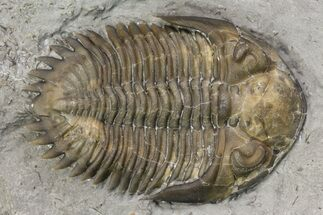 ".84"" Greenops Trilobite - Arkona, Ontario For Sale, #164405"