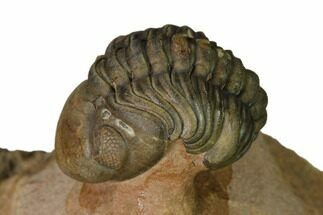 "Buy 1.1"" Enrolled Reedops Trilobite With Nice Eyes - Lghaft , Morocco - #164635"