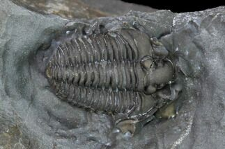".37"" Flexicalymene Trilobite - LaPrairie, Quebec For Sale, #164369"