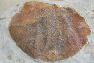 "2.4"" Fossil Leaf (Zizyphoides) - Montana For Sale, #165023"