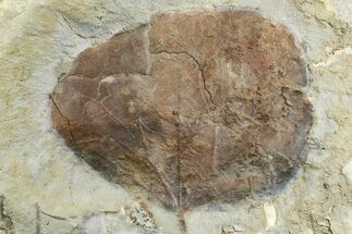 "3.2"" Fossil Leaf (Zizyphoides) - Montana For Sale, #165029"