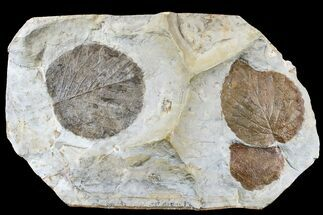 Three Fossil Leaves (Zizyphoides & Davidia) - Montana For Sale, #165032