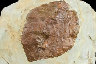 Beringiaphyllum cupinoides - Fossils For Sale - #165036