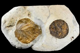 Buy Two Fossil Leaves (Zizyphoides & Davidia) - Montana - #165037