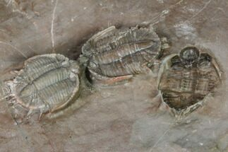 Basseiarges mellishae - Fossils For Sale - #124893