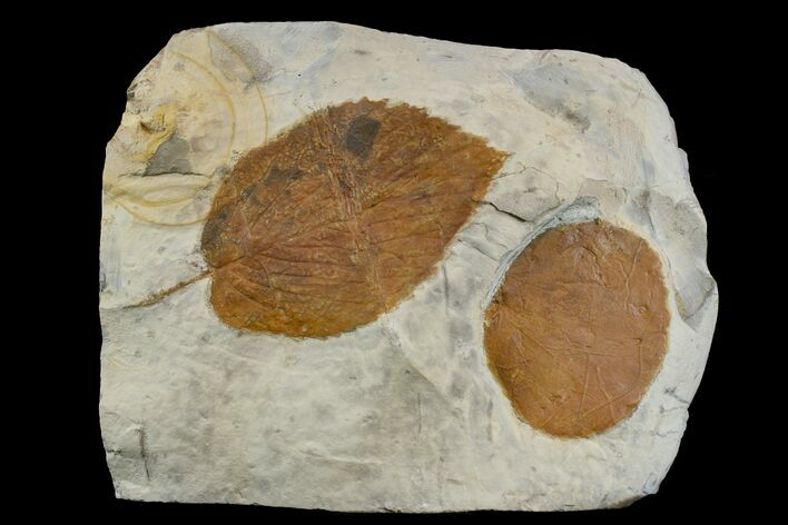 Two Fossil Leaves (Zizyphoides & Beringiaphyllum) - Montana