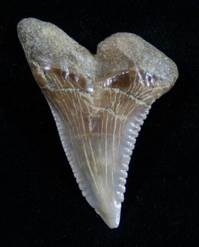 "Large 1.58"" Hemipristis Shark Tooth Fossil"