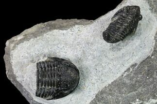 Buy Two Detailed Gerastos Trilobite Fossils - Morocco - #164740