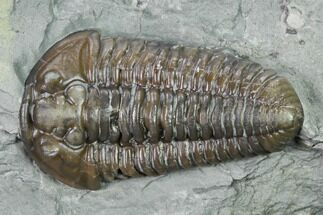 "1.25"" Flexicalymene Trilobite - Mt. Orab, Ohio For Sale, #165362"