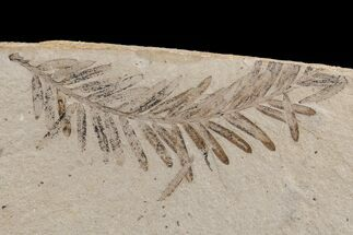 Metasequoia (Dawn Redwood) - Fossils For Sale - #165171
