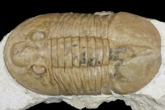 "Buy 2.75"" Valdaites Trilobite From Russia - Rare Species - #165439"