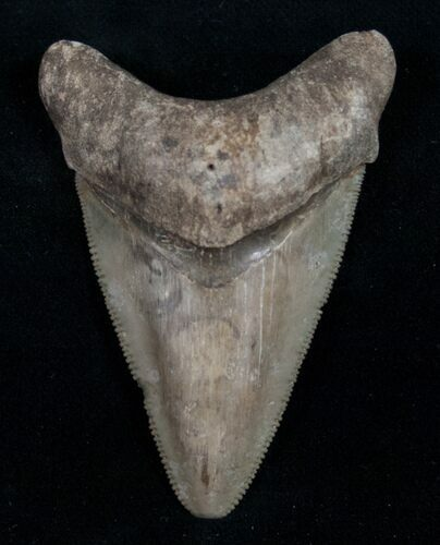 "Light Colored 2.40"" Megalodon Tooth - Serrated"