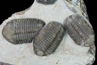 Cluster Of Three Austerops Trilobite - Jorf, Morocco For Sale, #165467