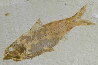 "3.9"" Detailed Fossil Fish (Knightia) - Wyoming For Sale, #165863"