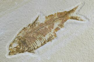 "Buy 4.1"" Detailed Fossil Fish (Knightia) - Wyoming - #165865"