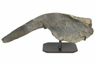 Hypacrosaurus sp. - Fossils For Sale - #165945