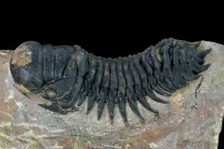 "3.3"" Crotalocephalina Trilobite - Atchana, Morocco For Sale, #165896"