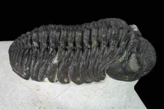 "Buy 2"" Adrisiops Weugi Trilobite - Recently Described Phacopid - #165901"
