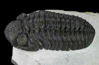 "2"" Adrisiops Weugi Trilobite - Recently Described Phacopid For Sale, #165902"