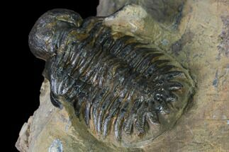 "1.4"" Bubble-Nose Actinopeltis Trilobite - Jbel Ougnate, Morocco For Sale, #165923"