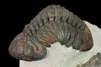 "2.4"" Reedops Trilobite - Foum Zguid, Morocco For Sale, #165965"
