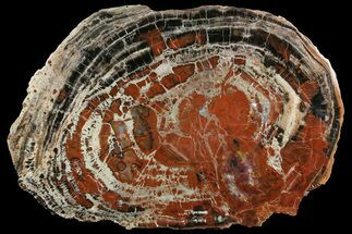 "20.2"" Red & Black Petrified Wood (Araucarioxylon) Round - Arizona For Sale, #166064"