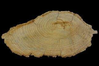 "Buy 9.8"" Rare Petrified ""Snakewood"" (Mennegoxylon) Round - Texas - #166402"