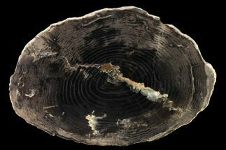 Fraxinus nigra - Fossils For Sale - #166467