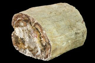 "Buy 3.7"" Wide Petrified Wood (Araucaria) Limb - Madagascar  - #166612"