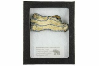 "2.75"" Mammoth Molar Slice with Case - South Carolina For Sale, #165137"