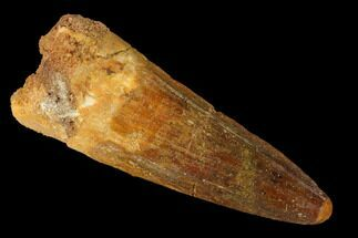 "Buy 1.88"" Spinosaurus Tooth - Real Dinosaur Tooth - #166525"