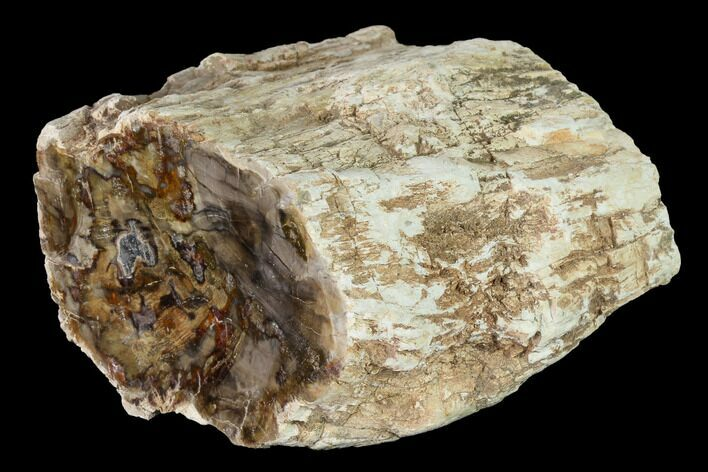 "3.5"" Long Petrified Wood (Araucaria) Limb - Madagascar"