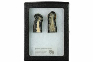 Mammuthus columbi - Fossils For Sale - #165120