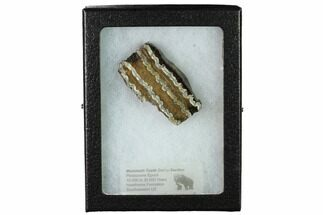 "2.3"" Mammoth Molar Slice with Case - South Carolina For Sale, #165125"