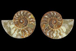 Cleoniceras sp. - Fossils For Sale - #166872