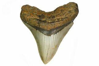"3.81"" Fossil Megalodon Tooth - North Carolina For Sale, #166988"
