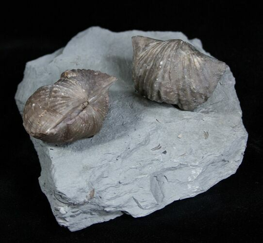 Platystrophia Brachiopods From Kentucky