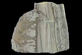 "3.9"" Triassic Aged Stromatolite Fossil - England For Sale, #167387"