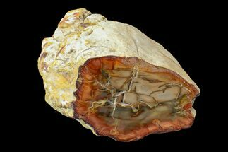 "Buy 4.1"" Wide Petrified Wood (Araucaria) Limb - Madagascar  - #167224"