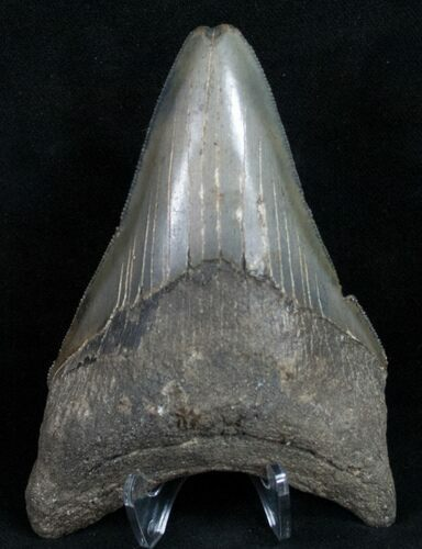 "Sharply Serrated 4.07"" Megalodon Tooth"