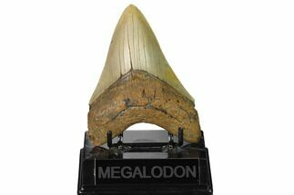 "Buy Serrated, 4.54"" Fossil Megalodon Tooth - North Carolina - #164824"