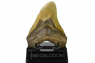 "4.82"" Fossil Megalodon Tooth - North Carolina For Sale, #167030"
