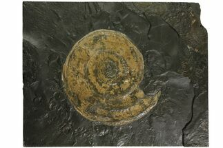 "Buy 6.1"" Jurassic Ammonite (Harpoceras) Fossil - Germany - #167803"