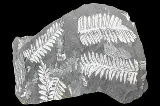 Alethopteris sp. & Neruopteris sp. - Fossils For Sale - #168384