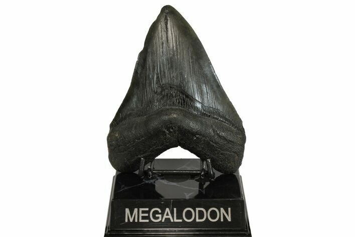 "5.09"" Fossil Megalodon Tooth - South Carolina"
