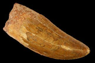 "2.3"" Serrated, Carcharodontosaurus Tooth - Real Dinosaur Tooth For Sale, #169682"