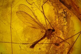 Buy Two Detailed Fossil Crane Flies (Tipulidae) In Baltic Amber - #170083