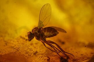 Detailed Fossil Fly (Dolichopodidae) In Baltic Amber For Sale, #170042