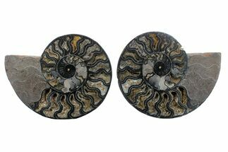 "8.1"" Cut/Polished Ammonite Fossil (Pair) - Unusual Black Color For Sale, #169703"
