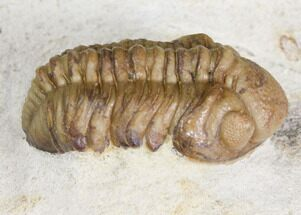 "1.1"" Kainops Trilobite - Black Cat Mountain, Oklahoma For Sale, #168872"